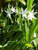 Wanted : white kaffir lillies