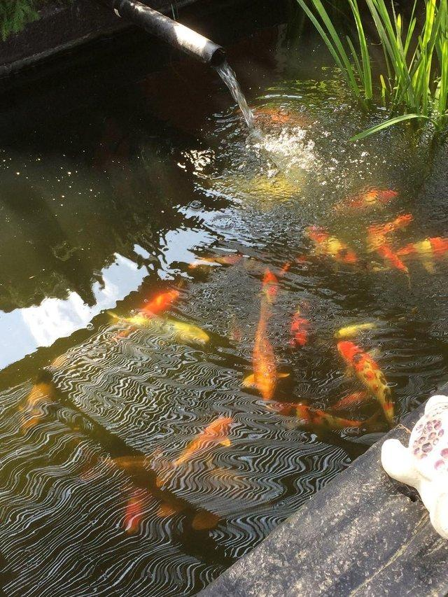 Pond clearences wanted in clacton on sea essex preloved for Pond fish wanted