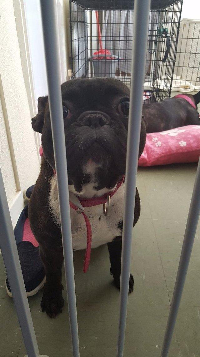 french bulldogs needing homes - Dogs and Puppies, Rehome ...