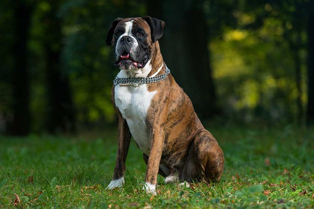 Boxer Dog sat on grass