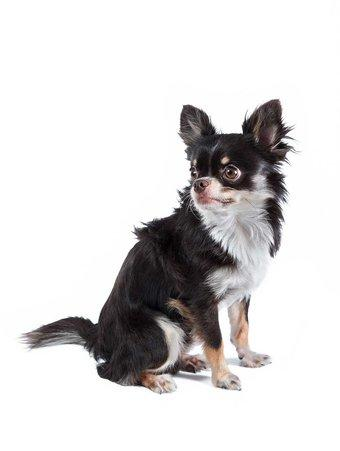 Black and White Chihuahua