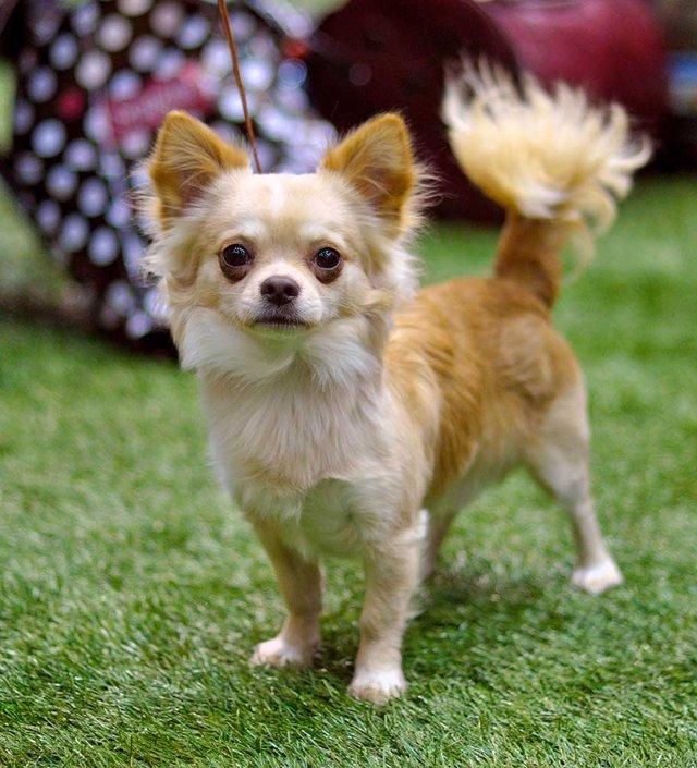 Caramel Chihuahua