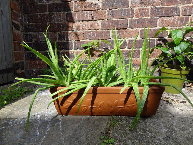 Aloe vera plant in clay rectangle pot from Preloved