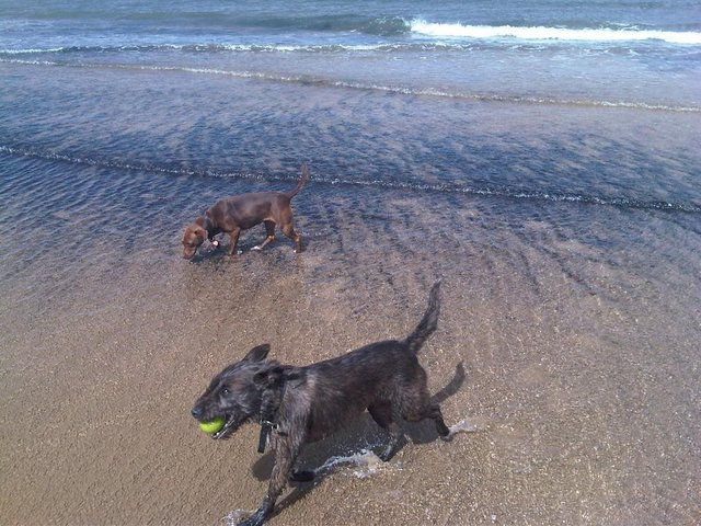 Molly and hayley's other dog playing on the beach
