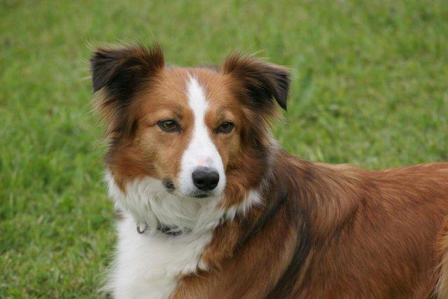 amber the red and white collie laying down
