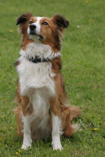 Amber the red and white collie