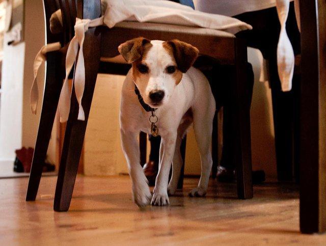 dog hiding under a chair