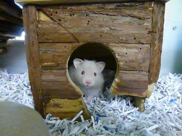 hamster cosy in a hamster house