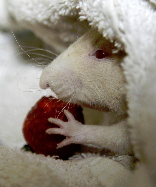 rat eating a berry