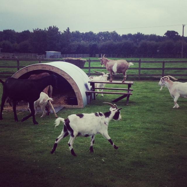 goats enjoying their enclosure