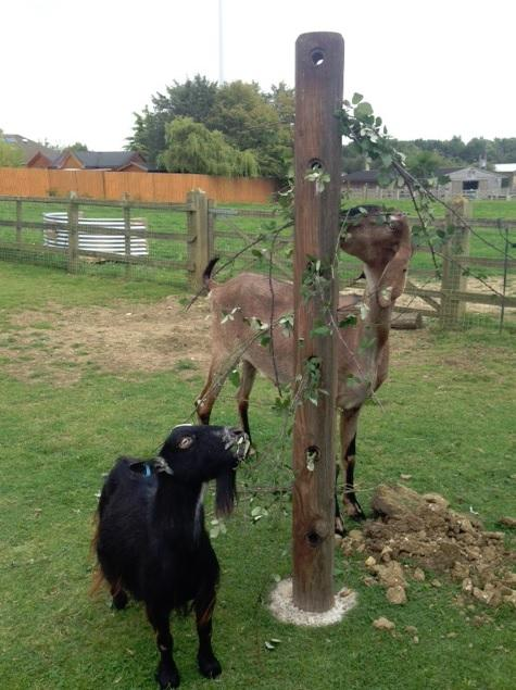 goat eating forage