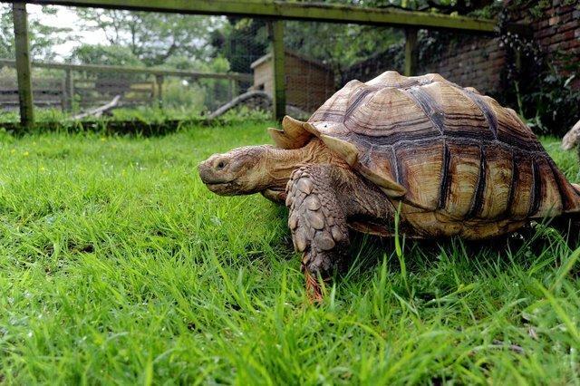 tortoise on lawn