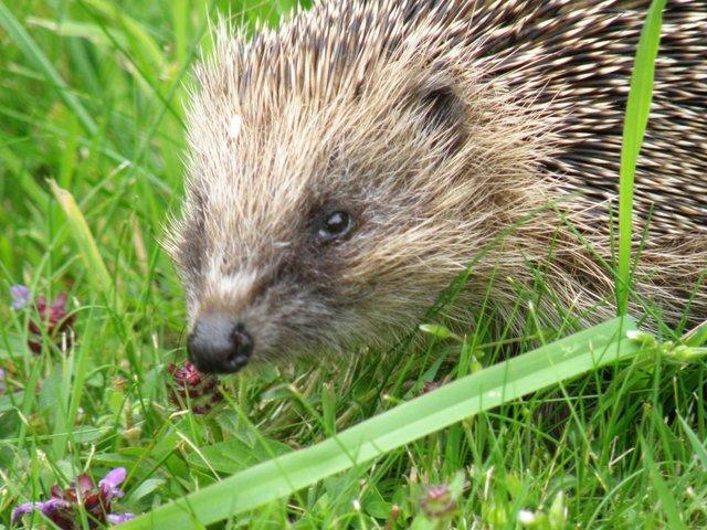 hedgehog out in the garden