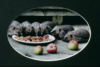 6 hedgehogs eating food from a plate surrounded by apples