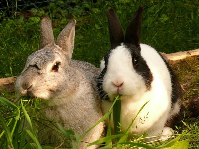two rabbits eating grass