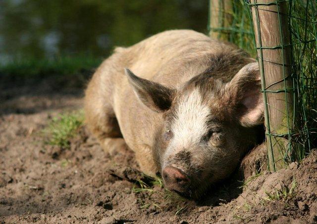 happy pig lying down