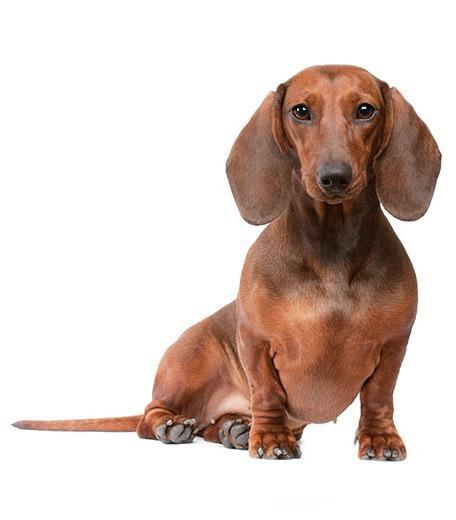 Dachshund Dog Breed Guide - Preloved UK