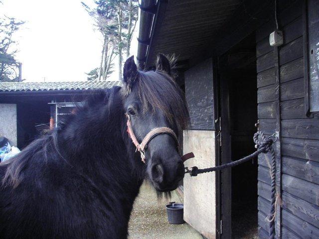 Tully the fell pony