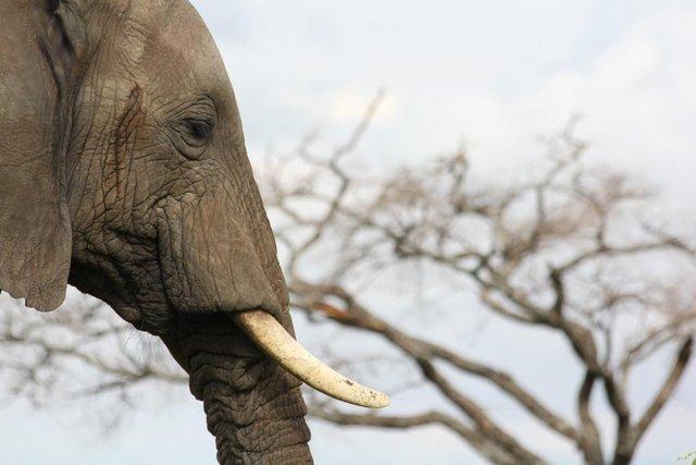 elephant with a tusk