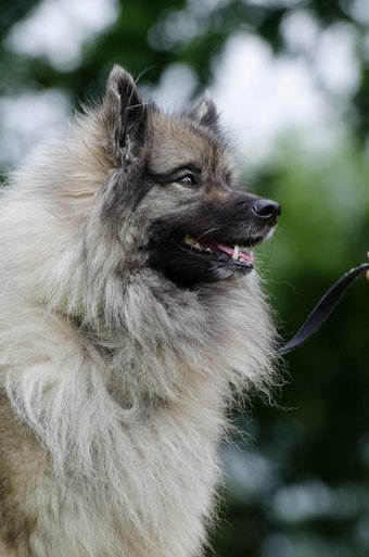 keeshond dog in a park