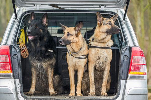 german shepherds sitting in an open boot of a car