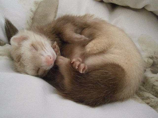 ferret curled up sleeping