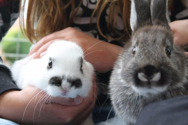 rabbits being petted by a girl as they sit on her lap