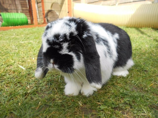 adult lop eared rabbit