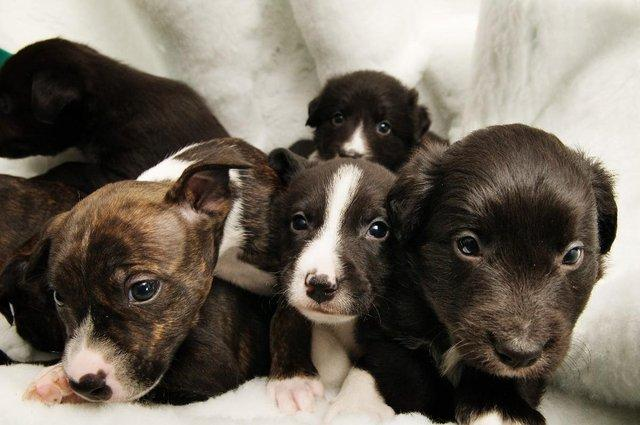 litter of staffordshire bull terrier puppies