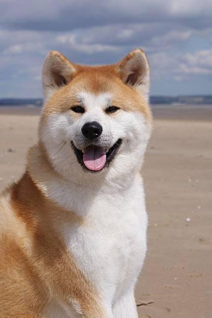 A Akita Dog Akita Dog Breed Guide ...
