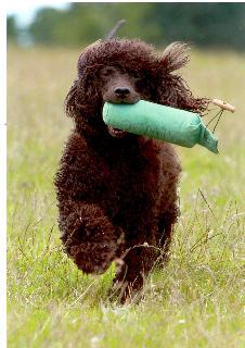 Irish Water Spaniel Running