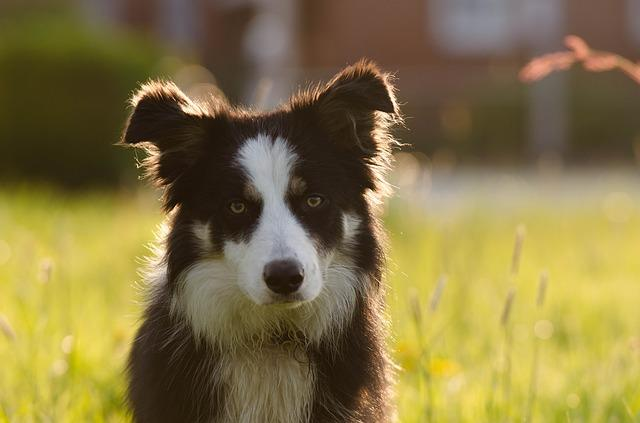 Cute Border Collie!