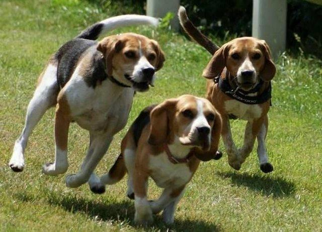 Three Beagles Running