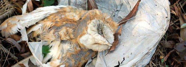 Barn owl trapped