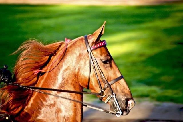 American saddlebred head
