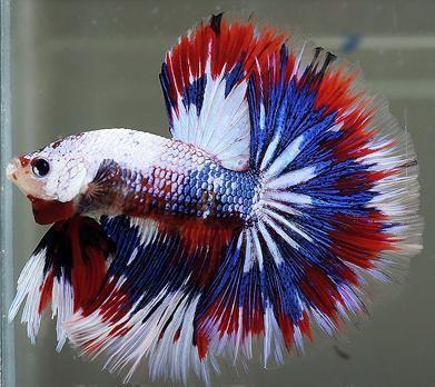 betta fish colourful