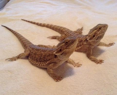 two bearded dragons