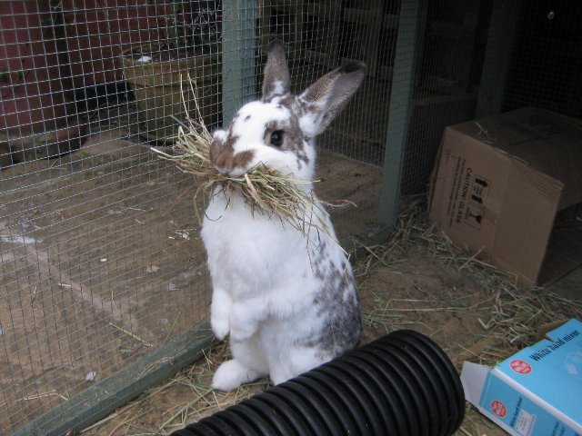 Preview of the first image of Honeybunnies Rabbit & Guinea Pig Rescue Needs YOU!.