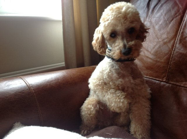 Image 2 of Apricot Toy Poodle Stud