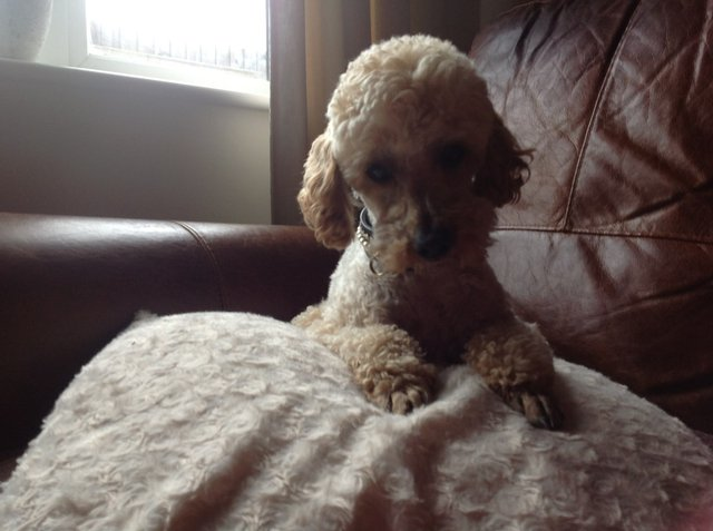 Image 3 of Apricot Toy Poodle Stud