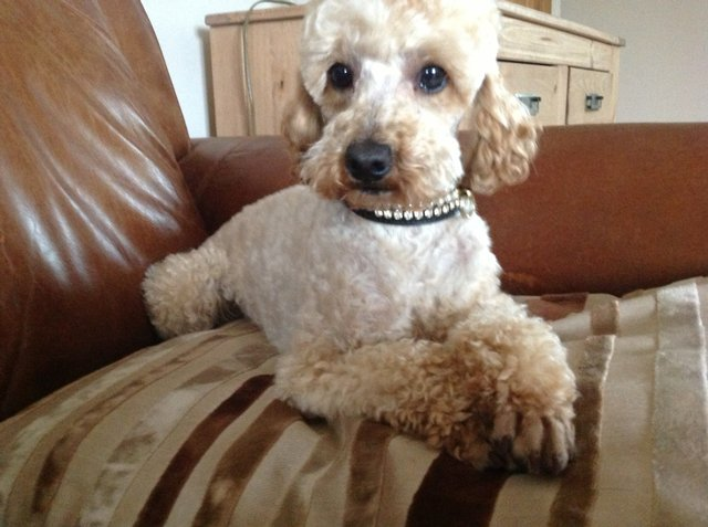 Image 4 of Apricot Toy Poodle Stud