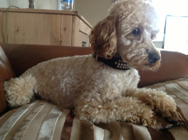 Image 5 of Apricot Toy Poodle Stud
