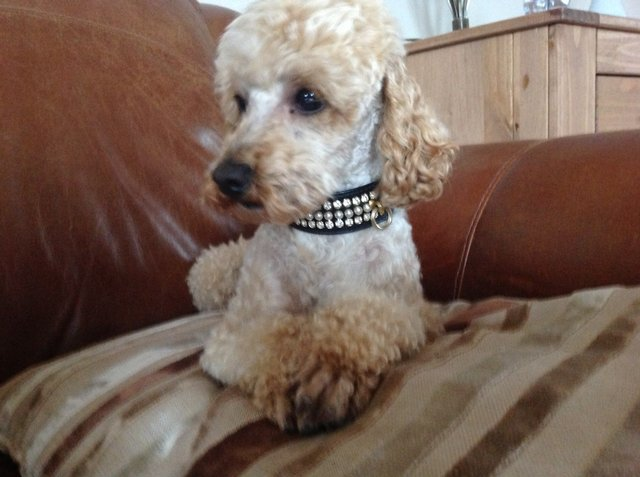 Image 6 of Apricot Toy Poodle Stud