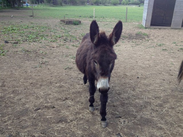 Image 2 of Donkey for shared loan