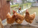 Preview of the first image of unwanted poultry rehomed.