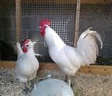 Image 2 of unwanted poultry rehomed
