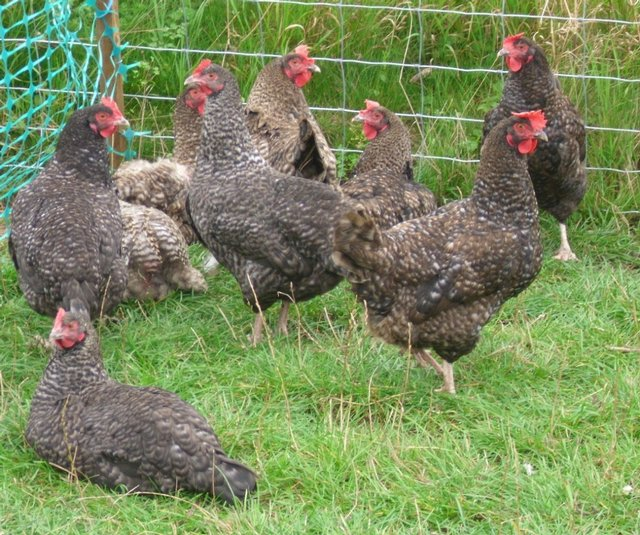 Image 3 of unwanted poultry rehomed