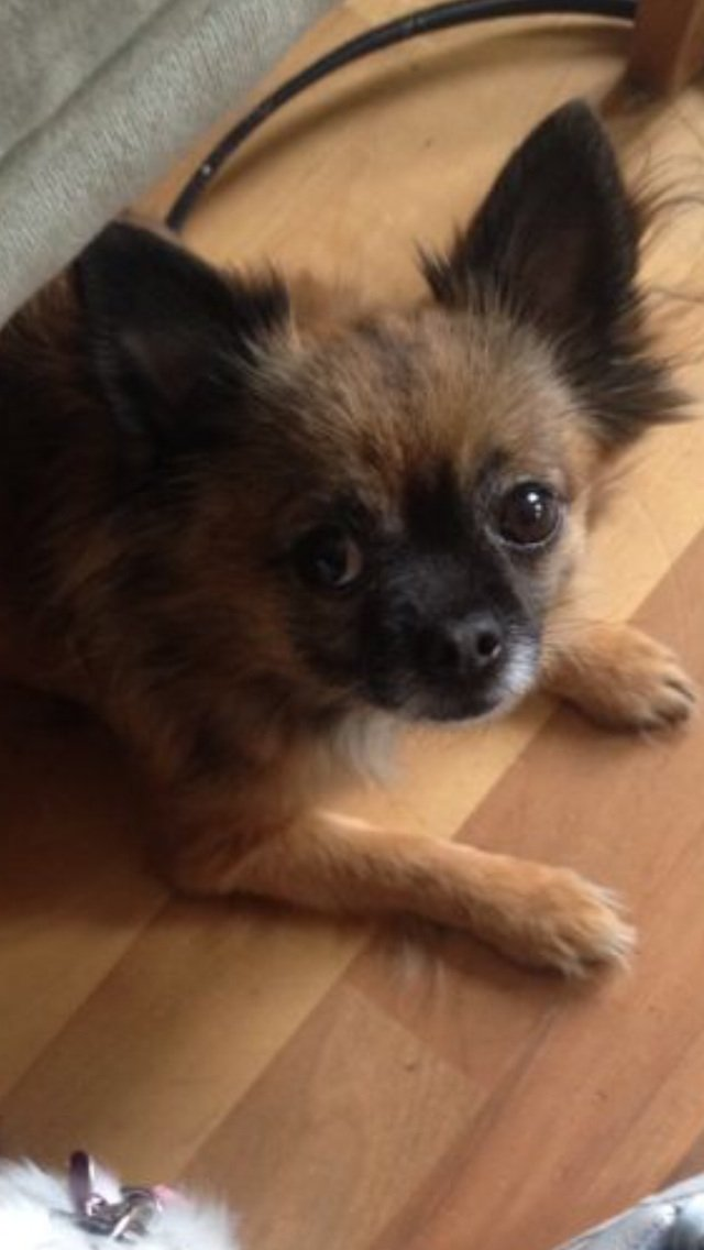 Image 2 of STOLEN! £2500 REWARD!CHIHUAHUA NEUTERED
