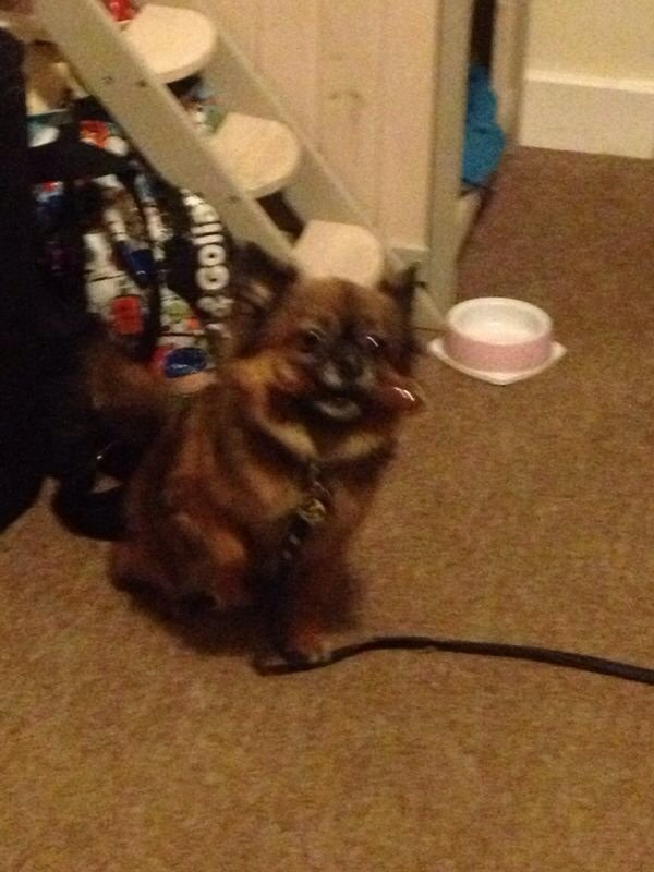 Image 3 of STOLEN! £2500 REWARD!CHIHUAHUA NEUTERED