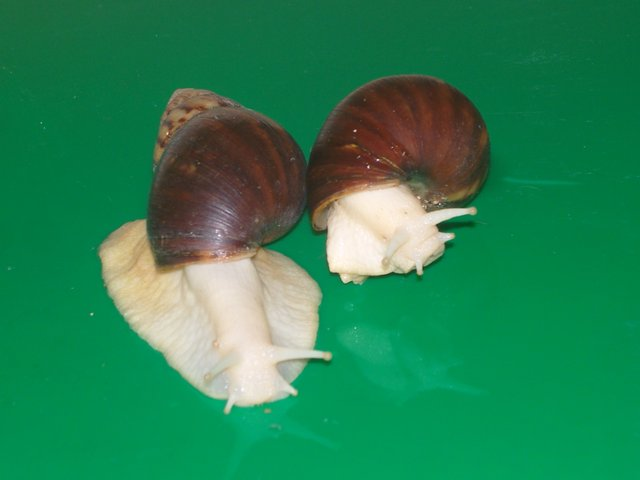 Image 2 of ALBINO, JADE & NORMAL GIANT AFRICAN LAND SNAILS.